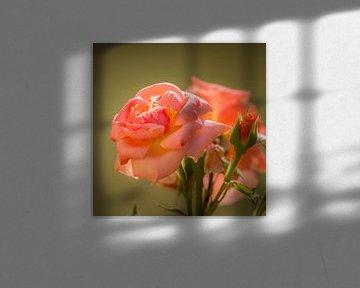 weiche Nahaufnahme einer rosa Rose von Marc Goldman