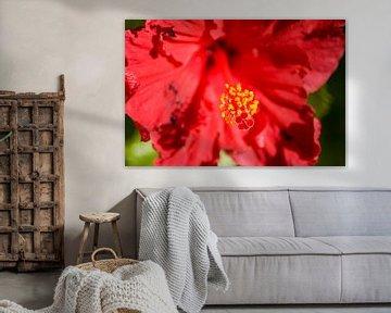 Roter Hibiskus von Stefanie de Boer