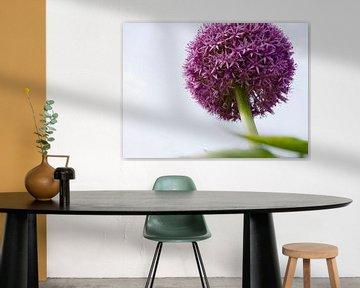 Allium / Zierpflanzen von Marijke Keijser