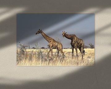 Girafes curieuses sur Albert van Heugten