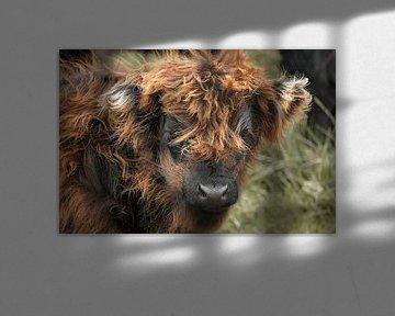 Schotse hooglander kalfje van Carla van Zomeren