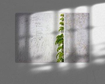 Glyzinien, die vergipste Wand klettern von Jan Brons