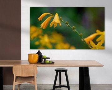 Crocosmia Yellow sunshine von Annemarie Arensen