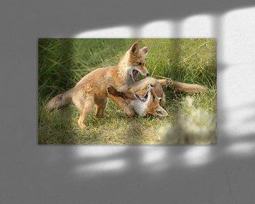 Twee jonge vosjes aan het spelen