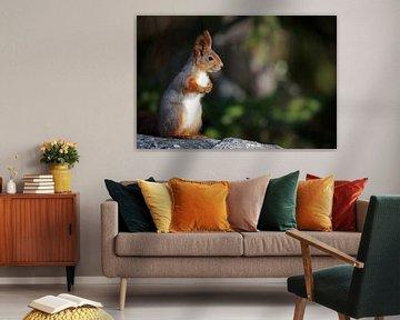 Eurasisches Eichhörnchen von Jana Behr