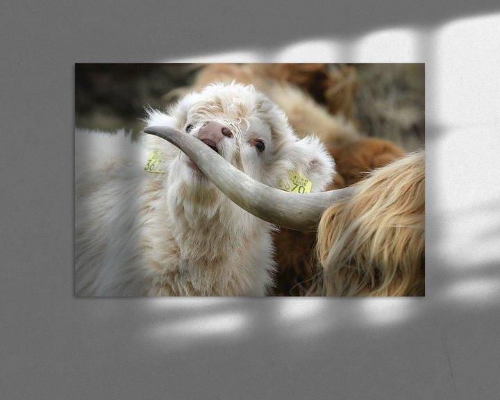 Sfeerimpressie: Schotse hooglander kalf van Martijn Smit
