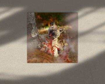 Lynx welp aan het gappen von Menno Schaefer