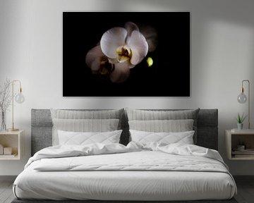Phalaenopsis. Mysterieuze schoonheid. von Rens Kromhout