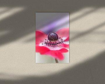 So here I am.... (bloem, anemoon) van Bob Daalder