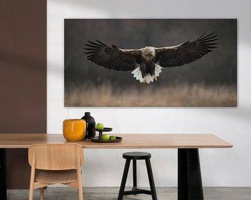 White-tailed Eagle! van Robert Kok