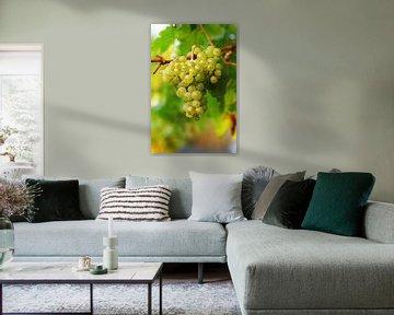 Weintrauben reif zur Ernte