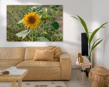 zonnebloem nederland von Petra De Jonge