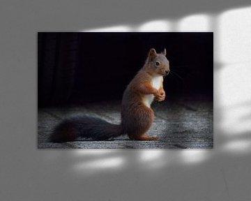 portret van een eekhoorn von Petra De Jonge