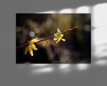 Forsythia flowers von Helga Novelli
