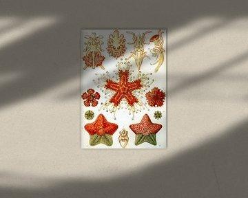 Asteridea, Ernst Haeckel