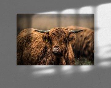 Schotse Hooglanders in het wild van Bas Fransen