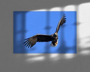 Aigle à queue blanche ou aigle de mer sur Sjoerd van der Wal