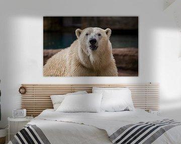 Een ijsbeer recht van voren von Angelo de Bruin