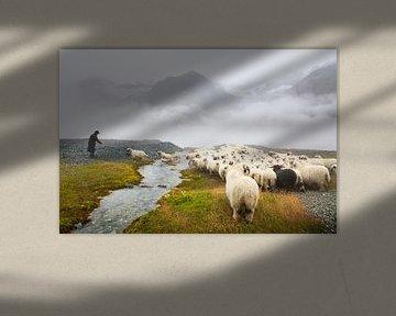 Schwarznasenschafen Zermatt von Menno Boermans