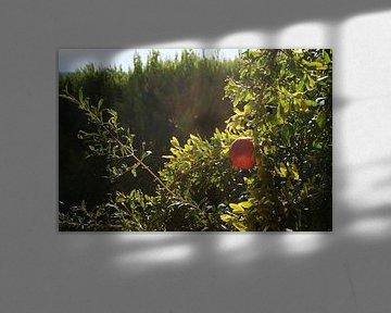 Granatapfel in der Sonne von Floortje Mink
