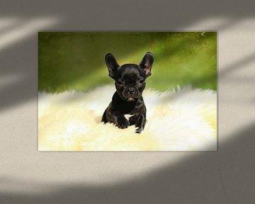 Niedliche Französische Bulldogge van Heike Hultsch
