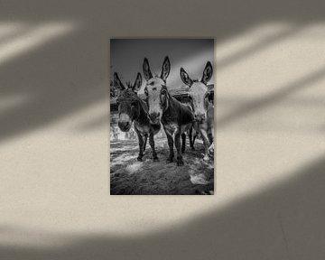 Neugierige Esel auf einen Blick von Sasja van der Grinten