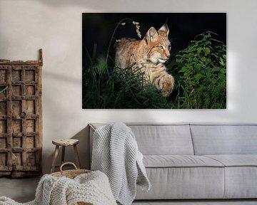 auf der Pirsch... Eurasischer Luchs *Lynx lynx* sur wunderbare Erde