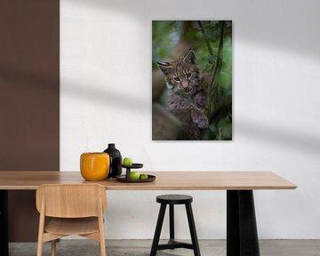 einfach süß... Eurasischer Luchs *Lynx lynx* von wunderbare Erde
