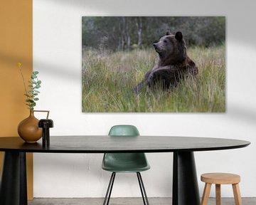 Teddy-Bär...  Europäischer Braunbär *Ursus arctos* von wunderbare Erde