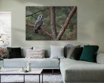 Great Grey Owl ( Strix nebulosa ) perched in a pine tree van wunderbare Erde