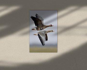 White-fronted Geese ( Anser albifrons ) in flight van wunderbare Erde