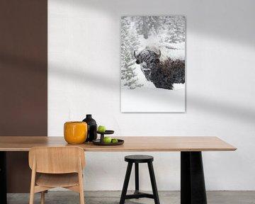 Amerikanischer Bison * Bison bison *  im dichten Schneetreiben von wunderbare Erde