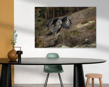 Great Grey Owl ( Strix nebulosa )  flapping wings van wunderbare Erde