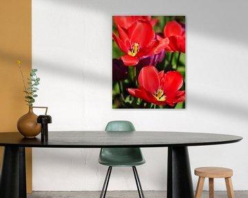 Rote Frühlings-Tulpen von Corinne Welp