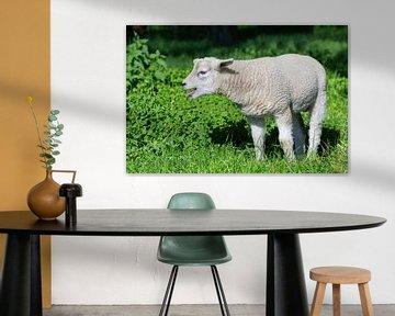 Weißes Lamm im grünen Gras ruft zur Mutter. Im Frühjahr rief dieses Lamm zu seiner Mutter sur Ben Schonewille