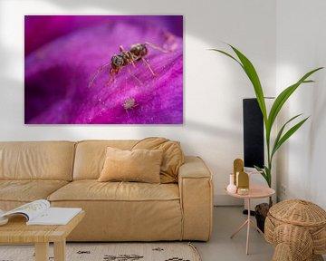 Mier op weg richting Bladluis op paarse bloem von Amanda Blom