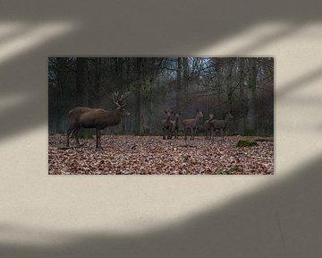 Edelherten in het bos