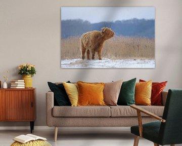 Schotse Hooglander in winter van Remco Van Daalen