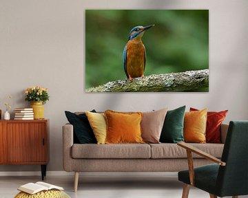 Waakzame Ijsvogel van Remco Van Daalen
