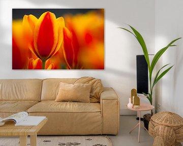 Tulpen von Frank Peters