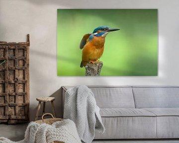 IJsvogel strekt zich uit. van Remco Van Daalen