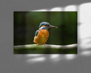 IJsvogel net uit de nestholte van Remco Van Daalen
