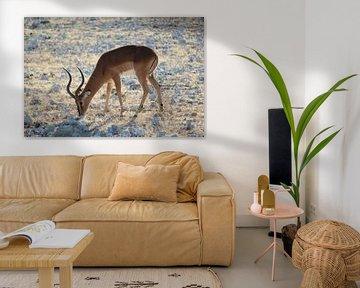 Impala au Botswana, Afrique sur R.Phillipson