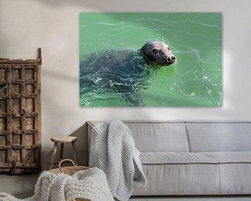 zeehond in Grevelingenmeer van Annelies Cranendonk