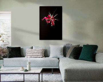 Schwebende Gloriosa Blume auf schwarzem Hintergrund von Doris van Meggelen