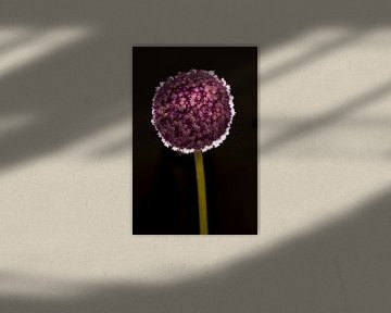 Lila Blume auf Stiel mit Lichtring auf schwarzem Hintergrund von Doris van Meggelen
