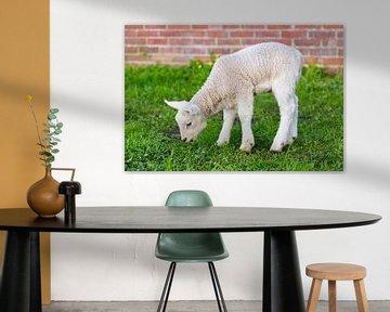 Pasgeboren lam eet gras in lente van Ben Schonewille