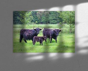 Stier koe en kalf schotse hooglanders in wei van Ben Schonewille