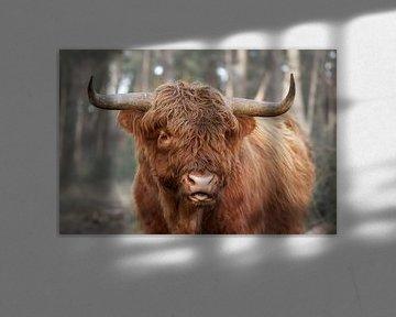 Schotse Hooglander van Cor de Hamer