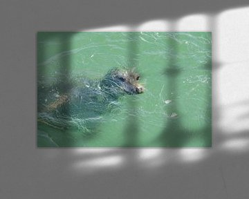 zeehond onderwater van Annelies Cranendonk